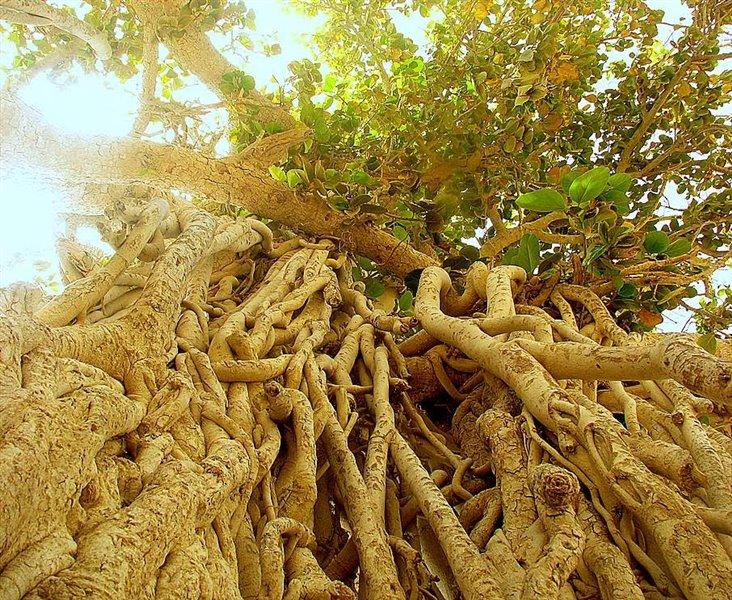 درخت-انجير-معابد-_1